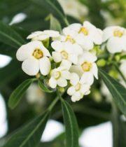 Euphorbia, Fulgens-white