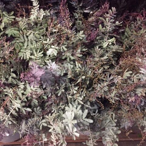 wholesale acacia feather purple