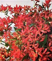 Festival Bush-red