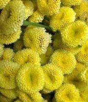 Feverfew-button-yellow