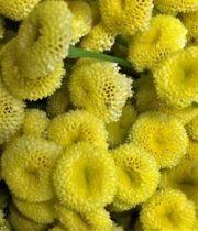 Feverfew, Button-yellow