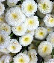 Feverfew, Button-white