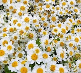 feverfew=daisy-white