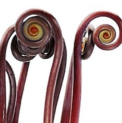 fiddlehead-fern-curls-bronze