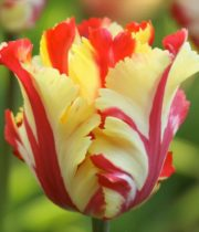 Tulips, French-yellow/red Stripe