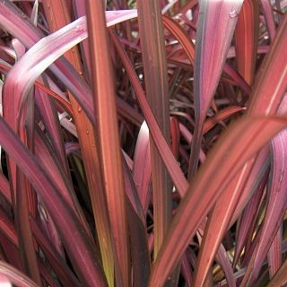 flax-leaves-red