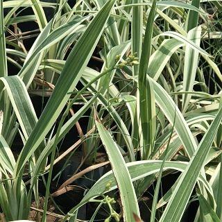 flax-variegated
