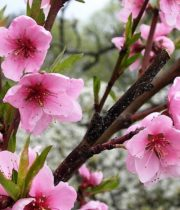 Branch, Flowering Peach-pink