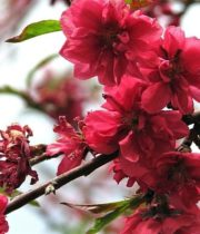 Branch, Flowering Peach-red