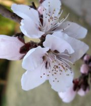 Branch, Flowering Peach-white