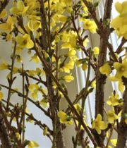 Branch, Flowering Forsythia Medium-yellow
