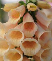 Foxglove-peach