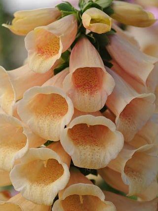 wholesale foxglove-peach