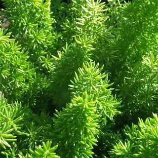 wholesale foxtail fern