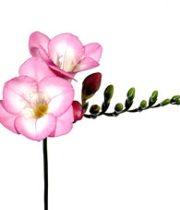 Freesia-light Pink