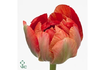 wholesale flowers | tulips guidos