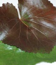 Galax Leaves