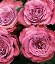 Rose Garden, Precious Moments-SA