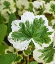 Geranium, Scented-variegated Green/white