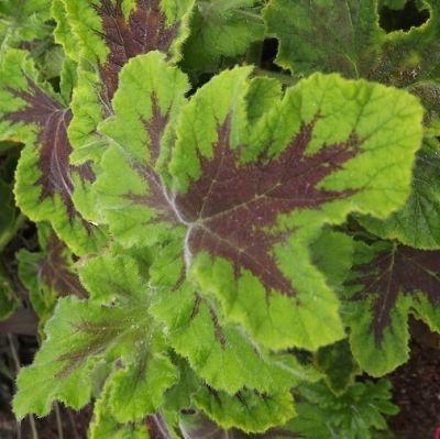 wholesale geranium-leaves-chocolate_