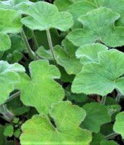 Geranium, Scented-green