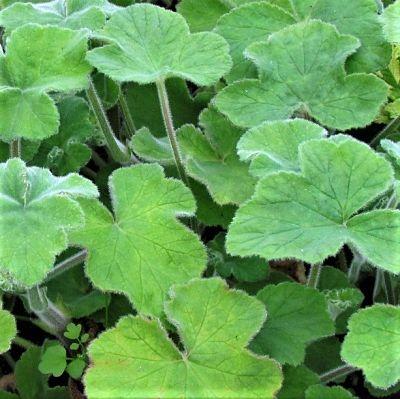 wholesale geranium-leaves-mint