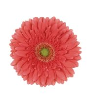 Gerberas, Mini-coral (10 Stems)