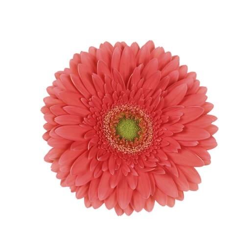 wholesale gerbera_daisy coral
