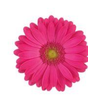 Gerberas, Mini-hot Pink (10 Stems)