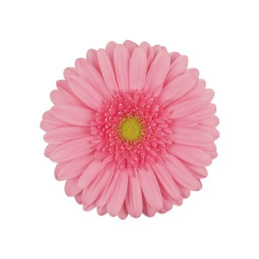 wholesale gerbera_daisy pink