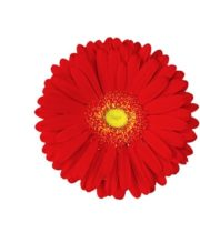Gerberas-red (10 Stems)