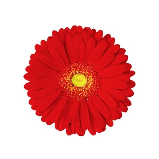 wholesale gerbera_daisy red
