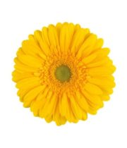 Gerberas-yellow (10 Stems)