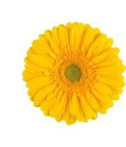 Gerberas-yellow (10 Stems)