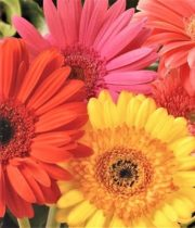 Gerberas-assorted (84 Stems)