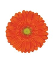 Gerberas-orange (10 Stems)