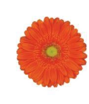 Gerberas-orange (10 Stems)