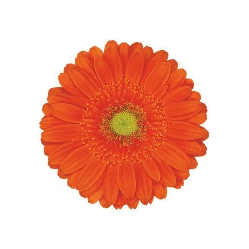 wholesale gerbera_daisy orange