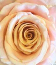 Rose, Ghobi-SA