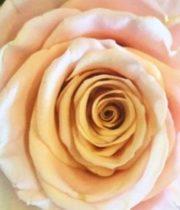 Peach Ghobi 50cm Roses, SA