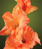 Gladiolus-orange