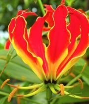 Gloriosa Lily, Short-red