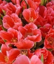 Godetia-coral