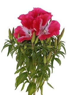 wholesale flowers | godetia red