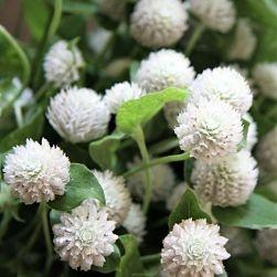 wholesale flowers | gomphrena white