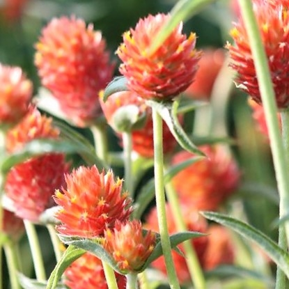 wholesale flowers | gomphrena orange