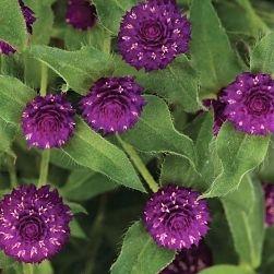 wholesale flowers | gomphrena purple