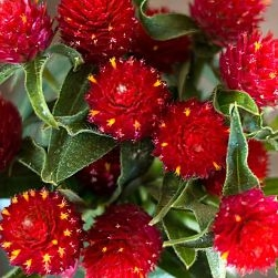 wholesale flowers | gomphrena red