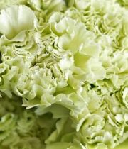 Carnations-green