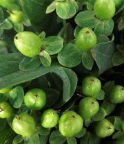 Hypericum-green